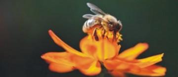 δηλητήριο μέλισσας